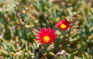 Skinos Ilivatos Flowers